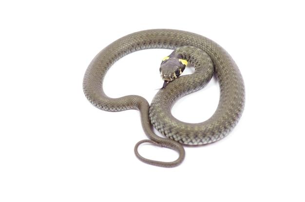 Schlange isoliert