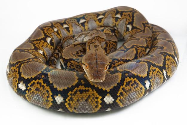 Schlange retikulierte python isoliert auf weißem hintergrund.