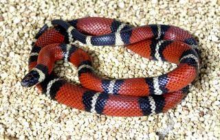 Schlange vergiftet