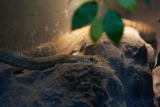 Schlangenkopf legt sich auf einen felsen, um sich für die jagd zu verstecken
