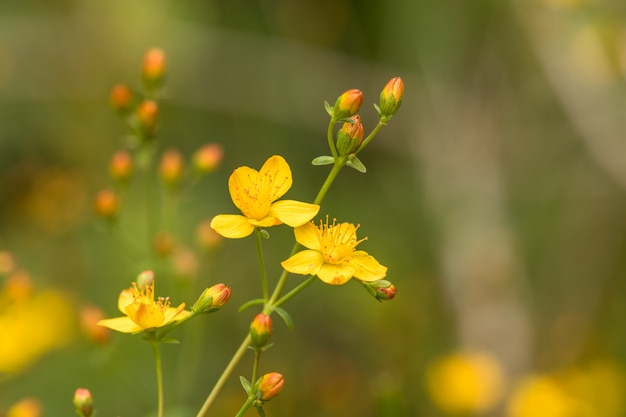 Schlanke johanniskraut hypericum pulchrum. gelbe blume und knospen. familie hypericaceae.