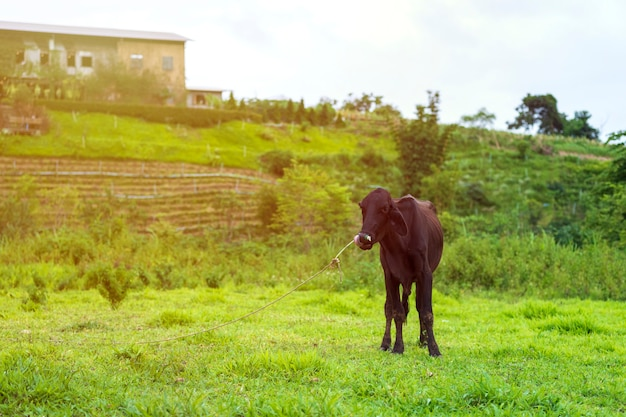 Schlanke schwarze kühe, die in einem dünnen vieh stehen, das in thailand ländlich ist.