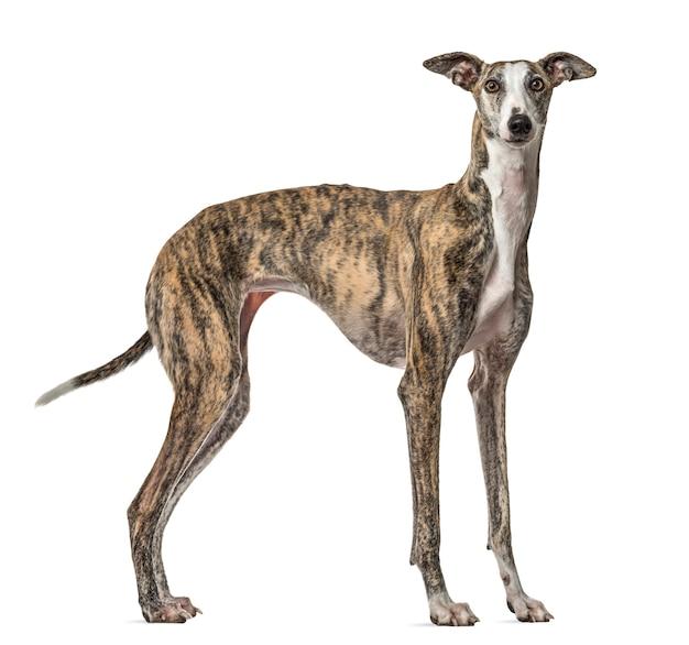Schlanker galgo-hund stehend, lokalisiert auf weiß