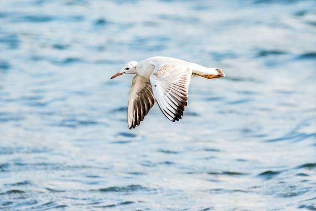 Schlankschnabelmöwe fliegt im naturpark albufera von valencia