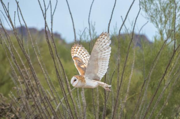 Schleiereule im flug durch die wüste von arizona