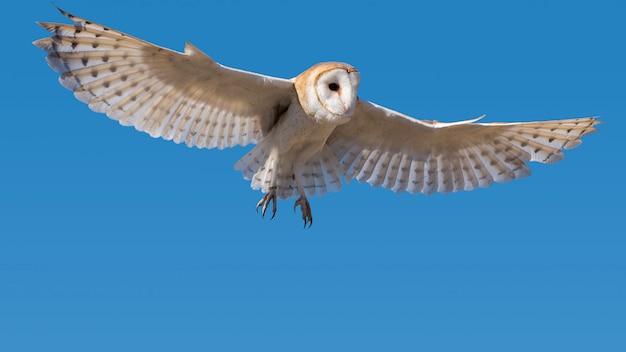 Schleiereule im flug in einem klaren blauen himmel