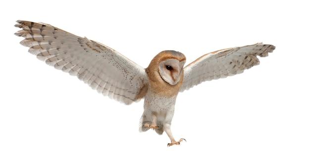 Schleiereule, tyto alba, 4 monate alt, fliegt gegen weiße oberfläche