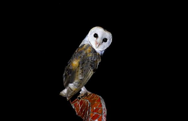 Schleiereule tyto alba schöne vögel von thailand