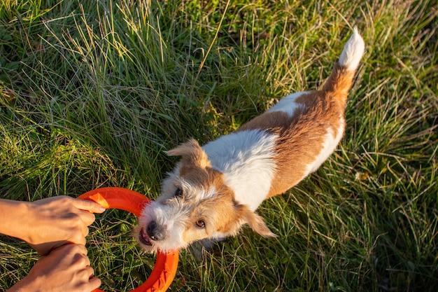 Schlepper orangefarbener spielzeugringe mit jack russell terrier