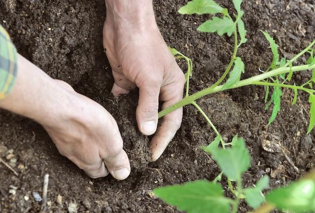 Schließen sie auf händen des gärtners, der tomatensämling in den boden eines gemüsegartens pflanzt