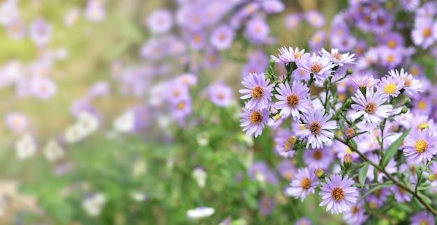 Schließen sie den busch von asterblumen, die im garten auf unscharfem hintergrund blühen