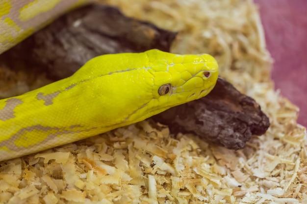 Schließen sie den kopf von gold python