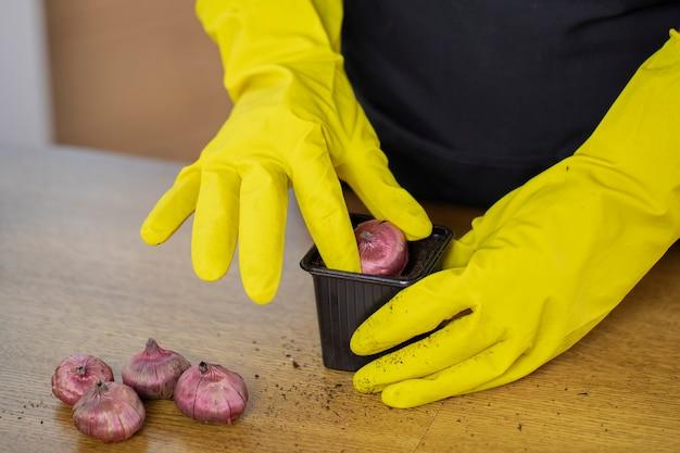 Schließen sie die hände des gärtners in gelben gummihandschuhen, die zwiebeln der tulpen gladiolus in wiederverwendbaren topf auf holztisch pflanzen
