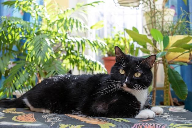 Schließen sie die schwarze und weiße katze, die auf einem bügelbrett auf einem sonnenbeschienenen fenster im hintergrund mit grünen hauspflanzen liegt und vor ihm schaut. gemütliches zuhause echtes interieur mit haustier und vielen grünen zimmerpflanzen.