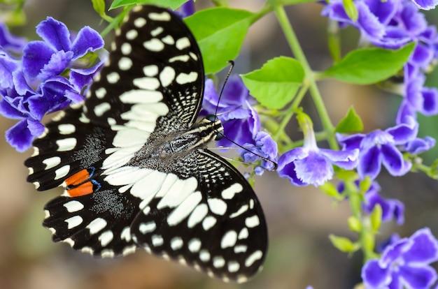 Schließen sie die schwarzen und weißen flecken von papilio demoleus oder lime butterfly, die nektar auf blauer blume essen