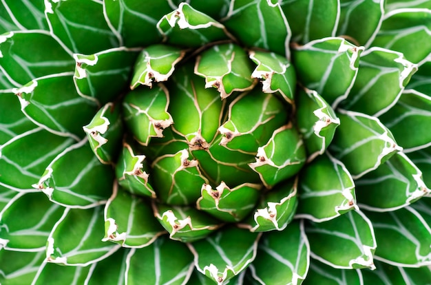 Schließen sie herauf abstrakten natürlichen hintergrund und beschaffenheit des schönen agavenkaktus.