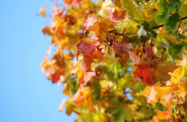Schließen sie herauf ahornbaum mit orange, roten blättern und blauem himmel im herbst.