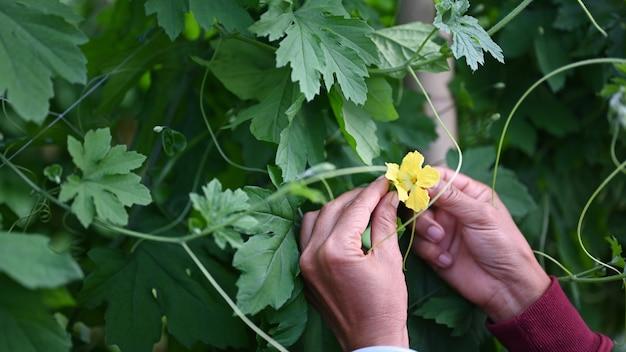 Schließen sie herauf ansicht der gärtnerhände, die blume der grünen bitteren kürbispflanze im gewächshaus halten