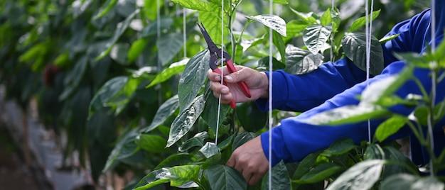 Schließen sie herauf ansicht der gärtnerhände, die schnittschere halten, die grüne pflanzen das gewächshaus beschneidet
