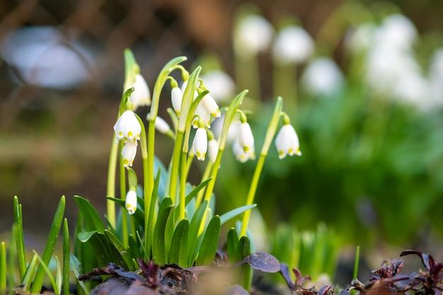 Schließen sie herauf ansicht der kleinen schneeglöckchenblumen, die unter trockenen blättern im wald wachsen