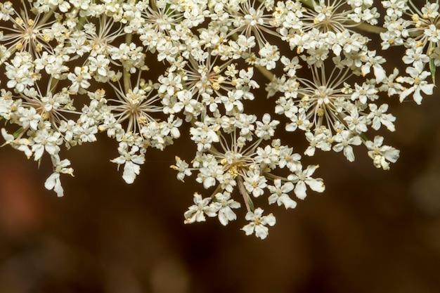 Schließen sie herauf ansicht der schönen blume der wilden karotte (daucus carota).