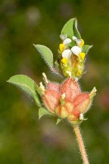 Schließen sie herauf ansicht der schönen jährlichen blume der niere wick (tripodion tetraphyllum).