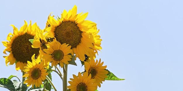 Schließen sie herauf ansicht der sonnenblumenanlage gegen fahne des blauen himmels