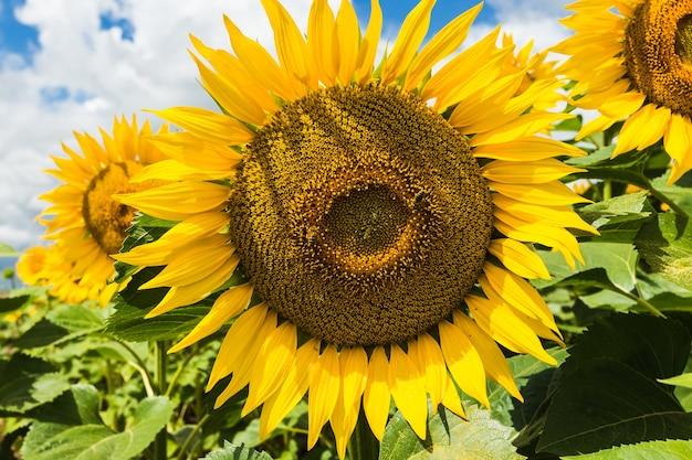 Schließen sie herauf ansicht der sonnenblumenblumen am abendfeld