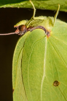 Schließen sie herauf ansicht des schönen gonepteryx-cleopatra-schmetterlingsinsekts.