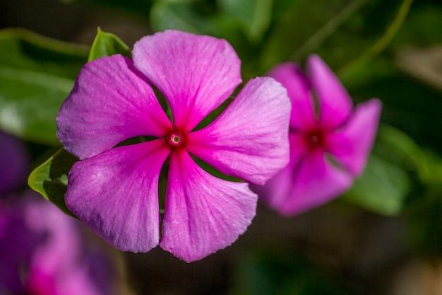 Schließen sie herauf ansicht einer schönen purpurroten singrünblume im garten.