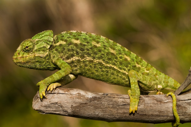 Schließen sie herauf ansicht eines niedlichen grünen chamäleons auf dem wilden.