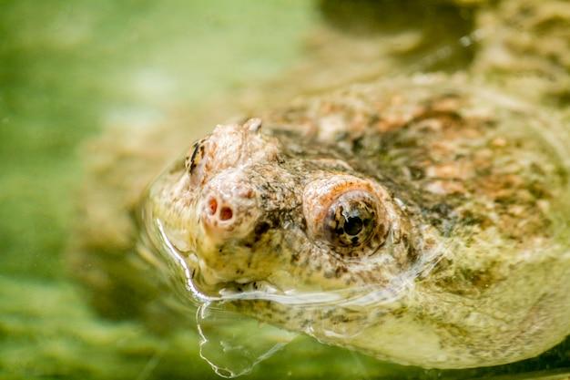 Schließen sie herauf ansicht eines spitzenkopfes einer adanson-schlammschildkröte (pelusios adansonii).