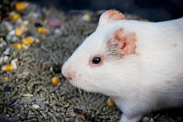 Schließen sie herauf ansicht eines weißen hamsters, der durch lebensmittelkörner umgeben wird.