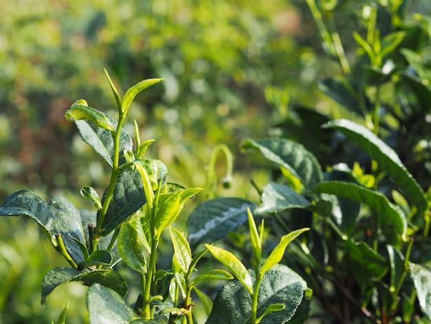 Schließen sie herauf baumblätter des grünen tees im ackerland