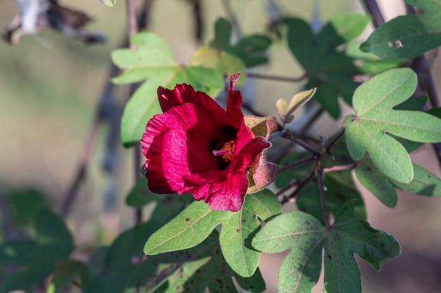 Schließen sie herauf baumwoll- oder gossypium-arboreum in einem garten. (ceylon-baumwolle, chinesische baumwolle, tree cotton of india.)