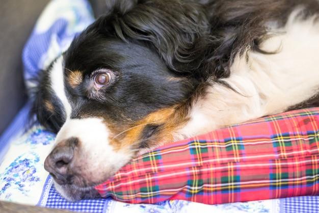 Schließen sie herauf berner sennenhund. schlafenszeit. hund schläft auf dem bett eines menschen.