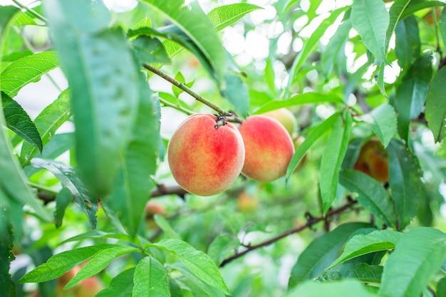 Schließen sie herauf bild der roten gereiften pfirsiche auf dem pfirsichbaum im obstgarten der biologischen landwirtschaft.