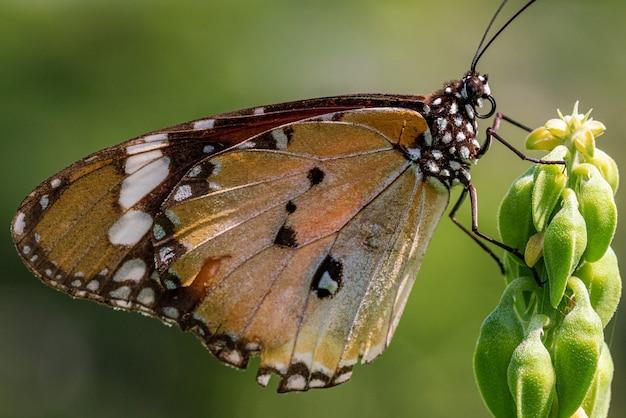Schließen sie herauf bild des einfachen tigerschmetterlings, der auf der pflanze ruht
