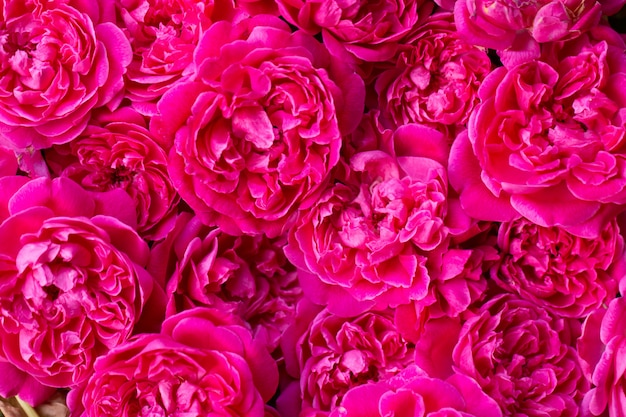 Schließen sie herauf bild von rosa rosen