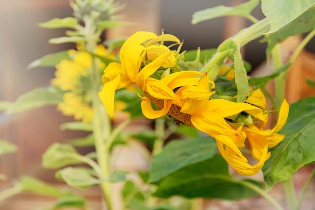 Schließen sie herauf blühende gelbe sonnenblume im landwirtschaftlichen feld