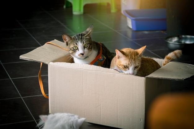 Schließen sie herauf das nette spielen der thailändischen katze im kasten und im unscharfen hintergrund unter verwendung der tapete oder des backgroun
