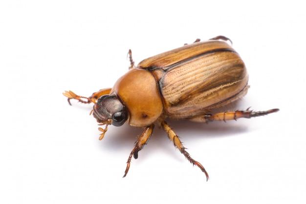 Schließen sie herauf den käfer oder den maikäfer, die auf weißem hintergrund lokalisiert werden