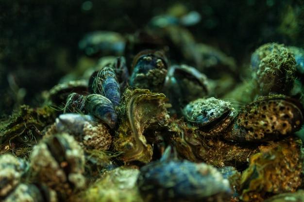 Schließen sie herauf den miesmuschelhintergrund, der im aquarium unterwasser ist