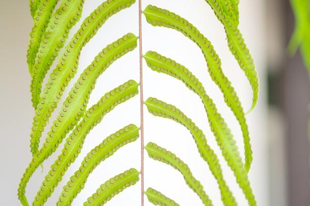 Schließen sie herauf detail eines farns verlässt. farnblätter im tropischen regenwald.