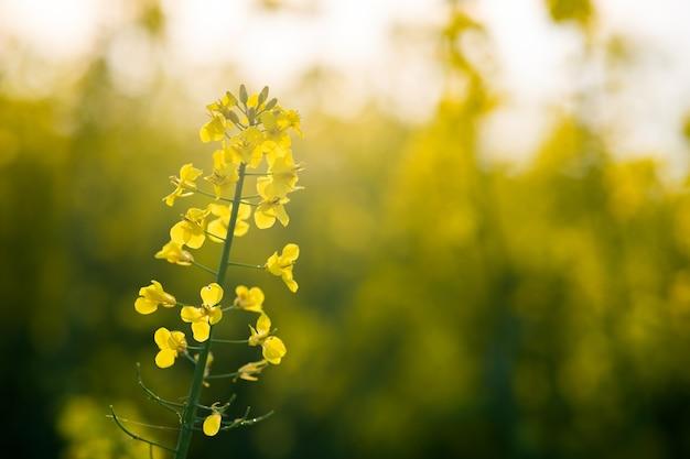Schließen sie herauf detail von blühenden gelben rapspflanzen im landwirtschaftlichen feld im frühjahr.