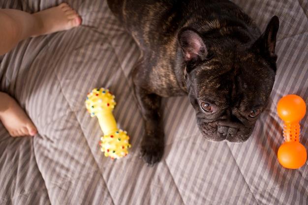 Schließen sie herauf die gestreifte französische bulldogge, die mit seinen spielwaren auf dem bett spielt