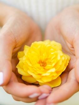Schließen sie herauf die hand, die natürliche rose hält