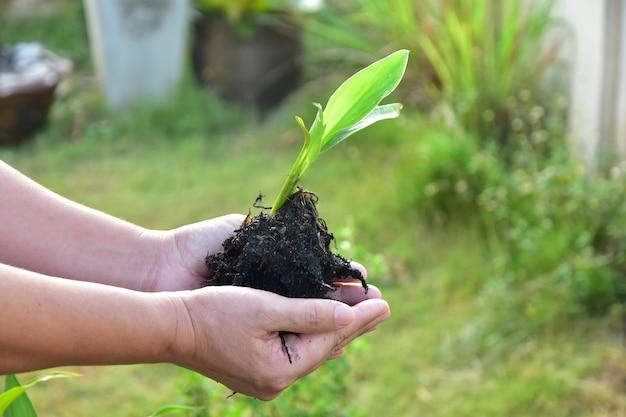 Schließen sie herauf die menschlichen hände, die frische grünpflanze mit boden halten