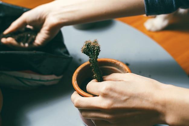 Schließen sie herauf foto von frauenhänden, die kleinen kaktus zu hause im kleinen blumentopf überziehen und erde hinzufügen