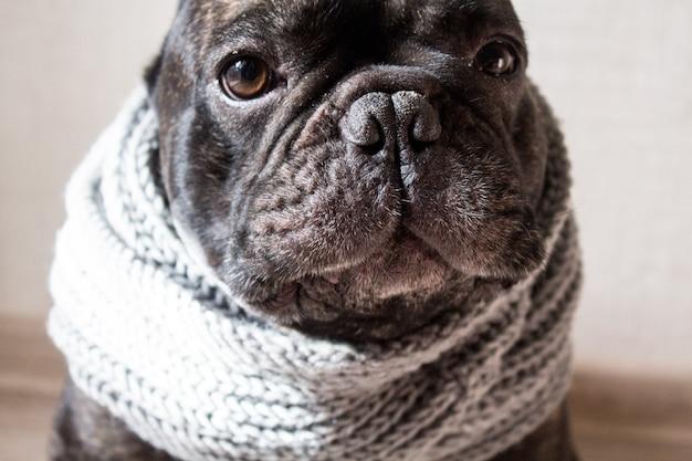 Schließen sie herauf französische bulldogge mit einem gestrickten warmen schal, netter gemütlicher schwarzer hund.